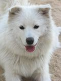 Samoyed dog. One year dog Stock Photo