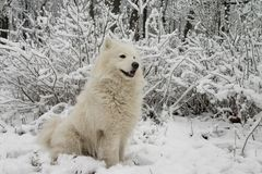 Samoyed dog. In the snow bushes Royalty Free Stock Images