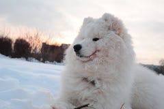 Samoyed dog Royalty Free Stock Images