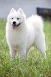 Samoyed dog. A Samoyed dog focus at something Royalty Free Stock Photo