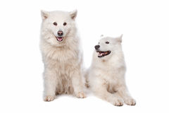 Samoyed (dog). Two Samoyed dogs in front of a white background Royalty Free Stock Photography