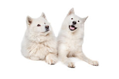 Samoyed (dog). Two Samoyed dogs in front of a white background Stock Photography
