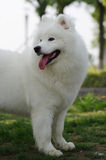 Samoyed dog. Looking across open green field Royalty Free Stock Photo