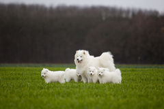 Free Samoyed Dog Royalty Free Stock Photography - 28821107