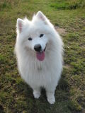 Samoyed dog royalty free stock photo