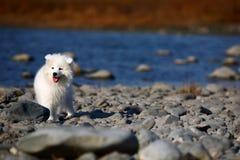 Samoyed dog. A baby samoyed looking beautiful stock photography