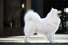 Samoyed dog. A beautiful samoyed dog in front of the factory Stock Photos