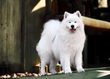 Samoyed dog. A beautiful samoyed dog in front of the factory Stock Photography