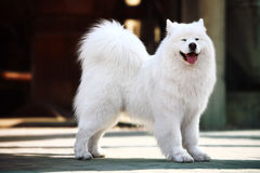 Samoyed dog. A beautiful samoyed dog in front of the factory Stock Images