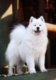Samoyed dog. A beautiful samoyed dog in front of the factory Royalty Free Stock Image