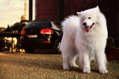Samoyed dog. A beautiful samoyed dog in front of a car Stock Photo