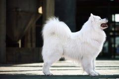 Samoyed dog. A beautiful samoyed dog in front of the factory Stock Image