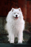 Samoyed dog Stock Photos