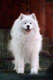 Samoyed dog stock photos