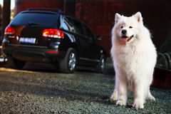 Samoyed dog. A beautiful samoyed dog in front of a car Stock Photography