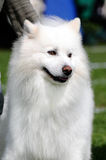 Samoyed Dog. Beautiful white Samoyed Dog posing at a dog show Royalty Free Stock Photo