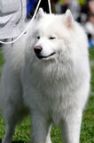 Samoyed Dog. Beautiful white Samoyed Dog posing Stock Photography