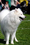 Samoyed Dog. Beautiful white Samoyed Dog posing at a dog show Stock Images