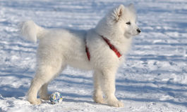 Samoyed dog Royalty Free Stock Photography