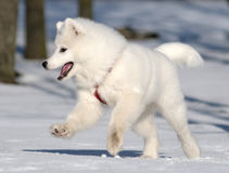 Samoyed dog. Snow-white miracle of North Royalty Free Stock Photography