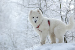 Samoyed dog. Snow-white miracle of North Royalty Free Stock Image