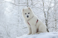 Samoyed dog. Snow-white miracle of North Royalty Free Stock Photos