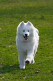 Samoyed dog. Snow-white miracle of North Stock Image