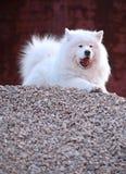Samoyed dog. A beautiful samoyed dog on the hill Royalty Free Stock Photos