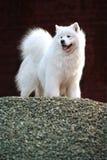 Samoyed dog. A beautiful samoyed dog on the hill Stock Photos