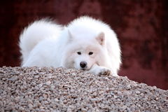 Samoyed dog Stock Photo