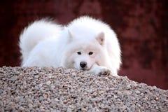 Samoyed dog. A beautiful samoyed dog on the hill Stock Photo