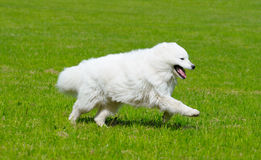 The samoyed dog. Snow-white pet Stock Images