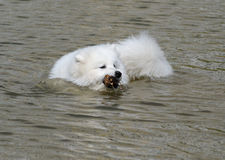 The samoyed dog Royalty Free Stock Photography