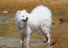 The samoyed dog. Snow-white pet Royalty Free Stock Photography