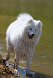 The samoyed dog. Snow-white pet Royalty Free Stock Photo