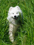The samoyed dog. Snow-white pet Royalty Free Stock Photos