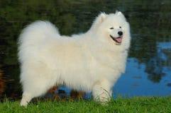 Samoyed dog. By the lake Royalty Free Stock Photography