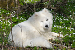 Samoyed dog. In spring forest Royalty Free Stock Photos