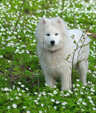 Samoyed dog. In spring forest Stock Images