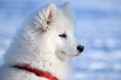 Samoyed dog. Snow-white miracle of North Royalty Free Stock Images