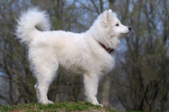 Samoyed dog. Snow-white miracle of North Royalty Free Stock Photo