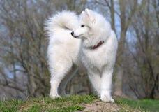 Samoyed dog. Snow-white miracle of North Royalty Free Stock Photo