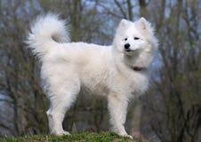 Samoyed dog. Snow-white miracle of North Stock Images