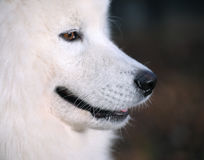 Samoyed dog. Juvenile Champion of Russia Stock Photo