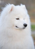 Samoyed dog. Juvenile Champion of Russia Stock Images