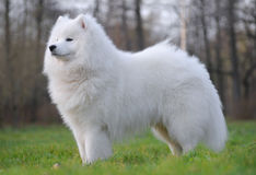 Samoyed dog. Juvenile Champion of Russia Royalty Free Stock Image