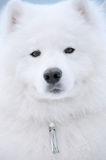 Samoyed dog Stock Image