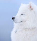 Samoyed dog. Juvenile Champion of Russia Royalty Free Stock Images