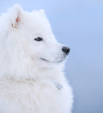 Samoyed dog. Juvenile Champion of Russia Stock Image