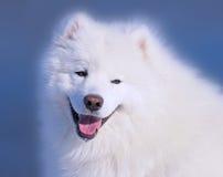 Samoyed dog. Portrait of a Samoyed dog Stock Photos